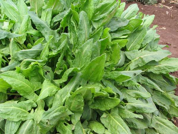 Sorrel leaf benefits